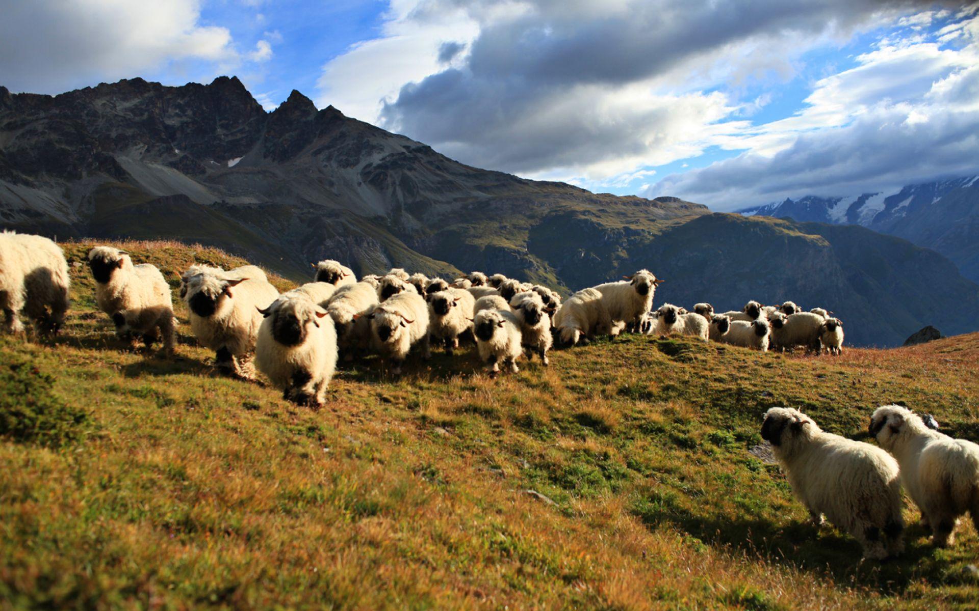 moutons nez noirs
