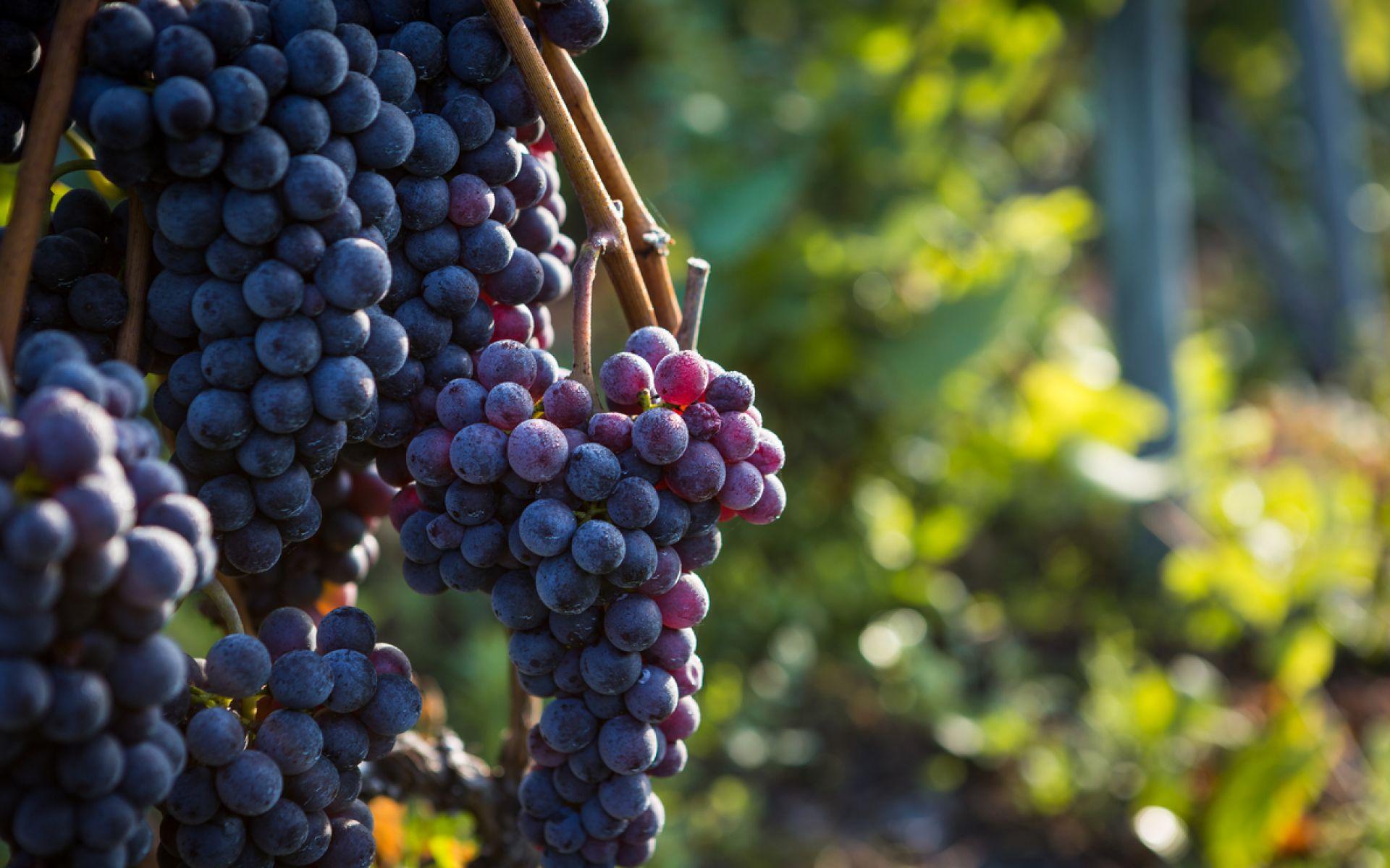 raisins du valais