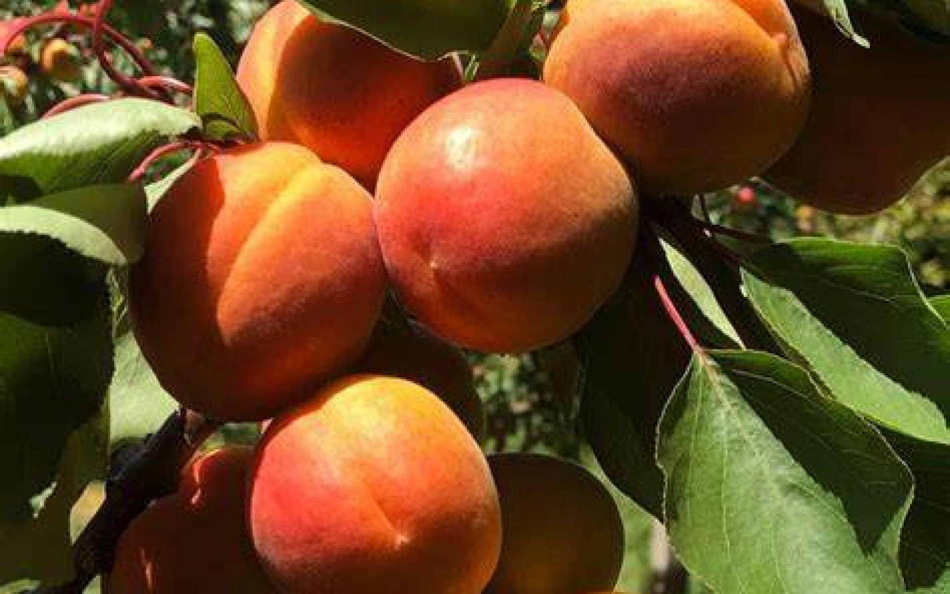 L'abricot du Valais